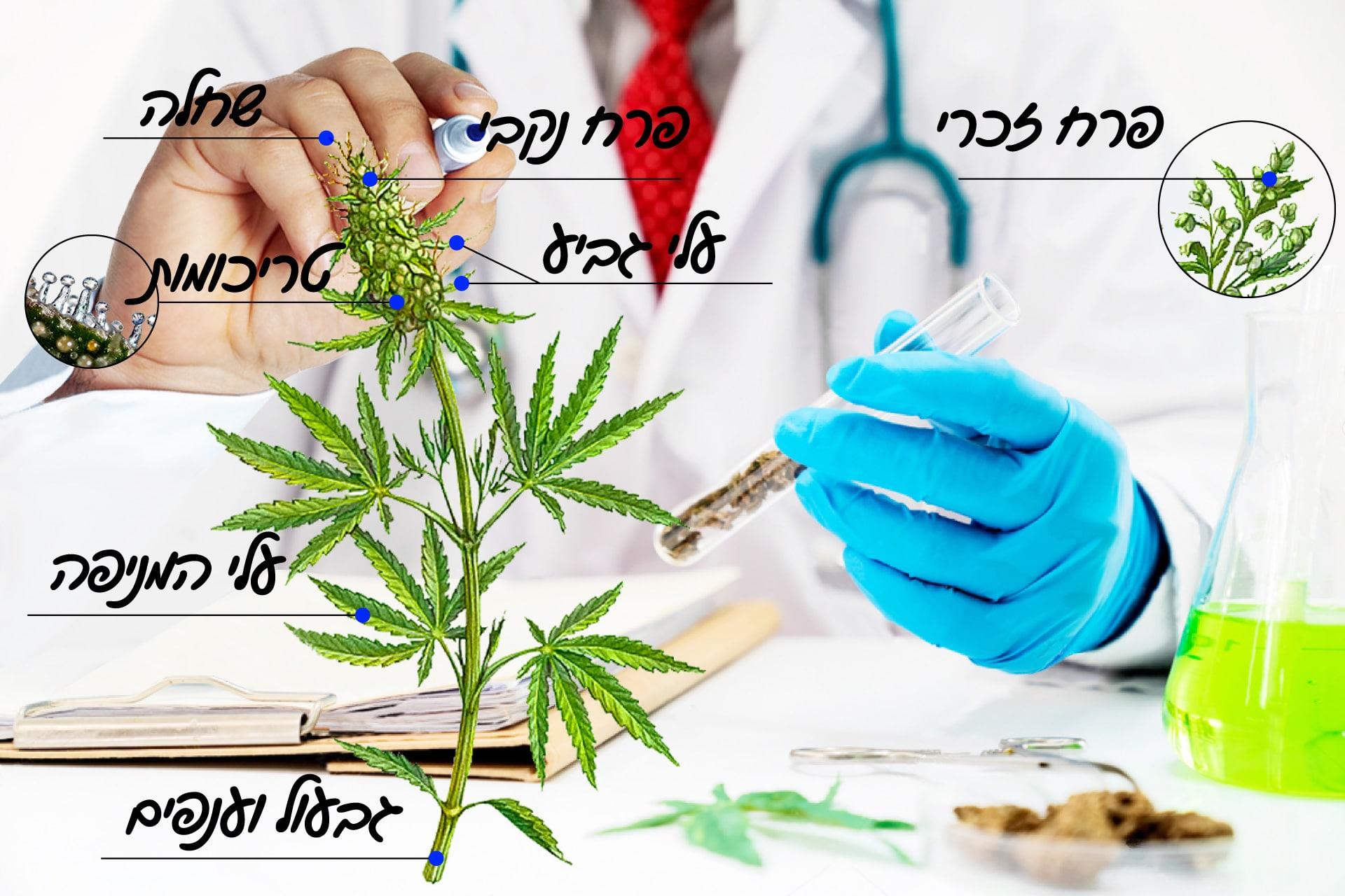 מבנה צמח הקנאביס